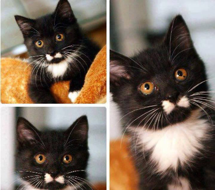 Handsome Kitty With Bow Mustache <3
