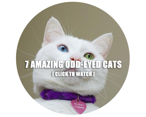 7 Amazing Cats With Odd Eyed