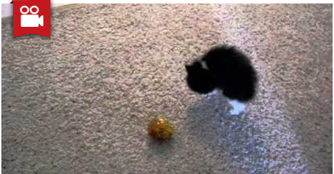 Crazy Kitten - Scared Cat Tries to Intimidate the Ball