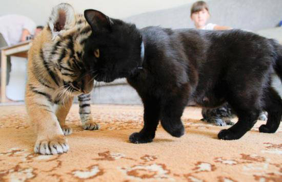 A Tiger Cub And A Black Kitty Head Bonks