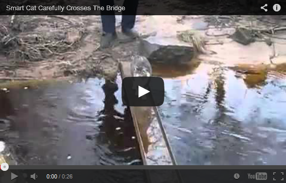 Smart Cat Carefully Crosses The Bridge