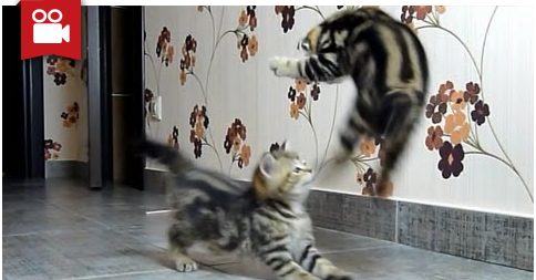 Funny Cats Compilation Of Fighting Dancing Kittens