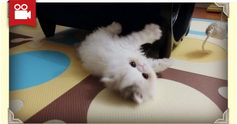 Kitten Marshmallow Too Busy Playing