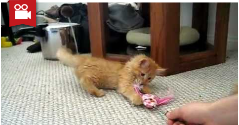 Kitten Extremely Possessive Of Toy Fish