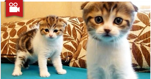 Cutest Twins ever, Scottish Fold Kittens