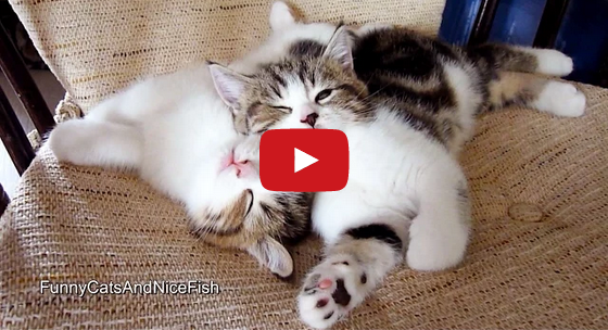 Kittens Falling Asleep While Playing