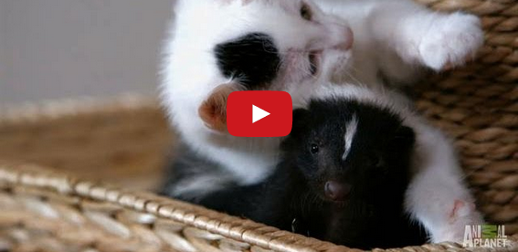 Who Knew Kittens and Skunks Made Such Good Friends?