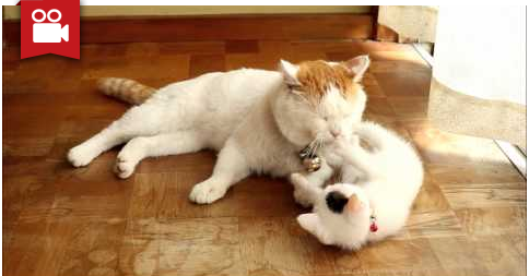 Cute Kitten Loves to Play With Her Big Buddy