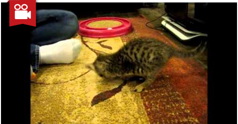 Mercury the Two Legged Kitten Playing with a Ball