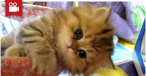 Cute Persian Kitten, Intrepid