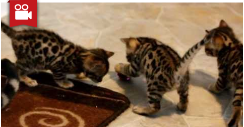 5-Week Old Bengal Kittens Exploring