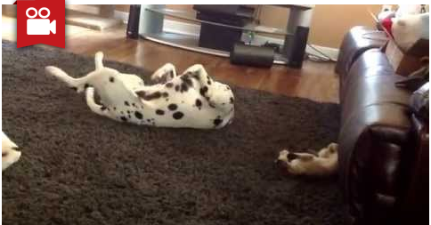 Kitten Copies Dalmatian Dog