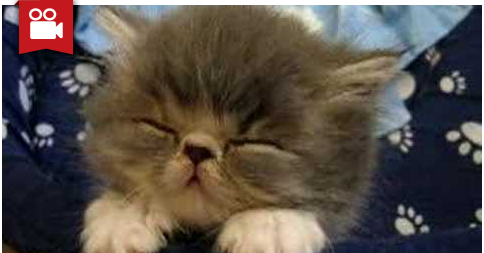 Fluffy Persian Kitten Falling Asleep