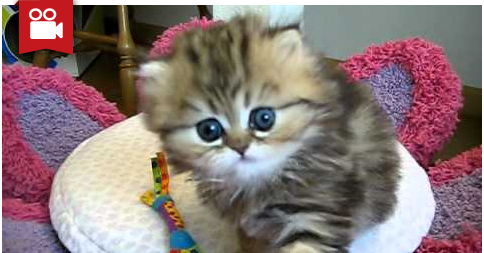 Cute Persian Kitten - India