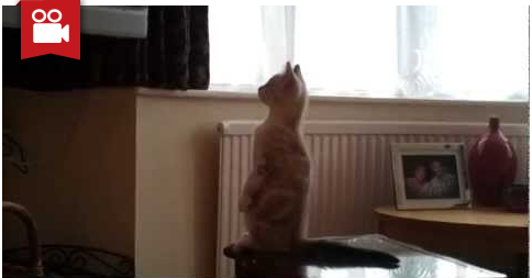 Kitten Standing Up Watching TV