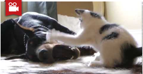 Tiny Kitten Shows Doberman Who's the Boss
