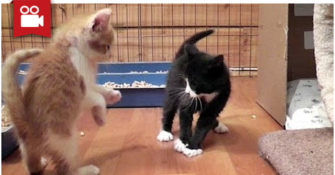 Cute Play Fighting Foster Kittens