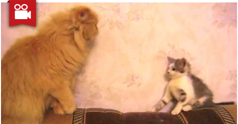 Kitten Try to Sneak Attack on Big Cat